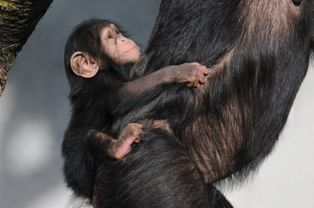 Chimpanzés. Foto: böhringer friedrich / Wikimedia Commons
