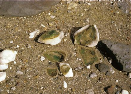 Im der Wüste Namib findet man Quarzsteine, unter denen Blaugrüne Felskugeln vorkommen. Sie profitieren von gemäßigten Temperaturen und Verdunstungswasser aus dem Boden, welches sich an der Unterseite der Quarzkiesel niederschlägt. Foto: Burkhard Büdel, TU Kaiserslautern
