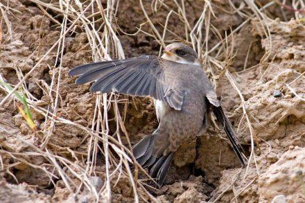 Bank swallow (Riparia riparia). Photo: Erfil / Wikimedia Commons