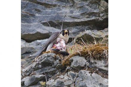 Peregrine falcon at McKeon Stone quarry.
