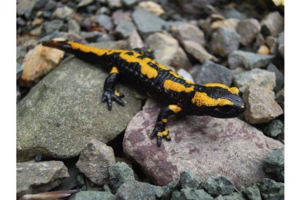 Fire salamander. Photo: Daria-bs / Wikimedia Commons