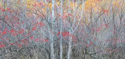 "Scott Smith, ""Acadia"" series: ""Winterberries""."