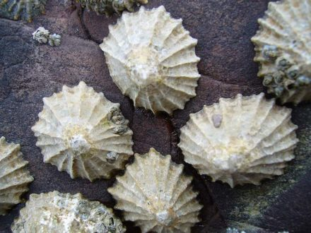Limpets at a beach in Wales. Photo: Tango22 / Wikimedia Commons