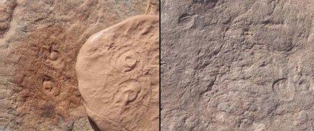 Obamus coronatus in Scheibenform mit einer spiralförmigen Oberfläche (links), Attenborites janeae in Eiform und ungefähr einen cm groß.