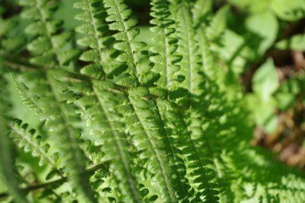"""Farn wuchs in Urzeiten in der Größe von Bäumen. Foto: Lotte76 / <a href=""""https://commons.wikimedia.org/""""target=""""_blank"""">Wikimedia Commons</a>"""