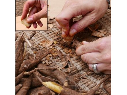 Experimental activity of cutting tubers with a small recycled flake and a close-up of its prehension (inset). Photo: Flavia Venditti/AFTAU