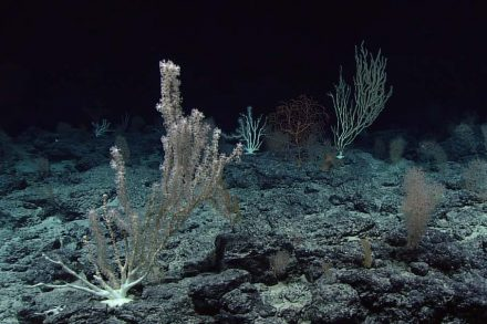 """Deep Sea Corals are a fascinating form of life. But more surprising are the many endospores sleeping int eh sediments underneath. Source: OAA Office of Ocean Exploration and Research / <a href=""""https://commons.wikimedia.org/""""target=""""_blank"""">Wikimedia Commons</a>"""