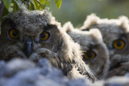 Owl chicks.