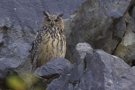 Eagle-Owl in the quarry.