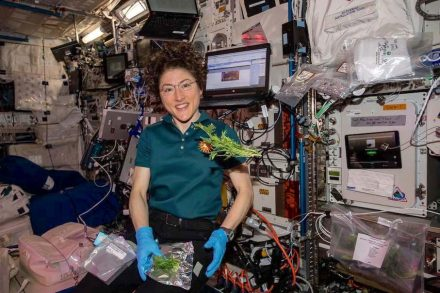 Astronautin Christina Koch sammelt und verpackt Mizuna-Senfgrün. Foto: Nasa / JSC