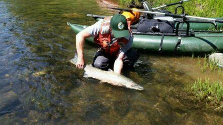 A steelhead trout. Photo: GFZ