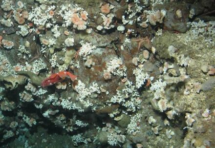 Lophelia pertusa coral in corrosive waters off Southern California Bight. Live coral growing is on bare, exposed rock with no dead coral framework. Source: National Oceanic and Atmospheric Administration