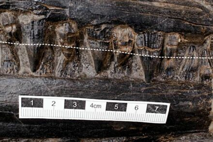 The image shows the ichthyosaur's teeth, with the broken white line indicating the approximate gum line of the upper jaw. Source: Jiang et al./ Science