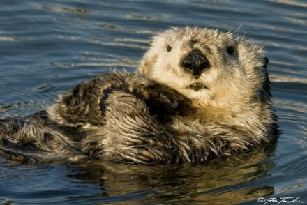 "Sea otters are the ""keystone predator"" of Aleutian kelp forests. Photo: J. Tomoleoni"
