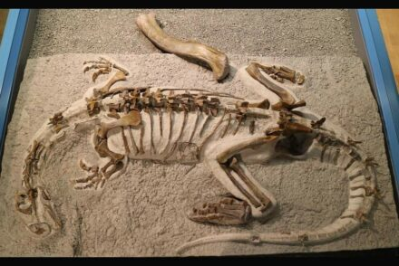 """Mounted skeleton of Plateosaurus """"Fabian"""" in the Sauriermuseum Frick, with the 20 inch (50 cm) long thigh bone (femur) of a larger Plateosaur as size comparison. Photo: Sauriermuseum Frick, Switzerland"""