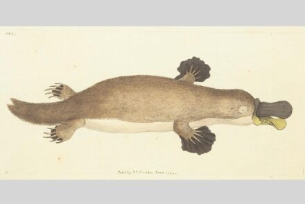 Platypus (Ornithorhynchus anatinus) in its first description 1799. Frederick Polydore Nodder / Wikimedia commons