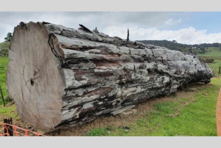A kauri tree log from Ngāwhā, New Zealand. Photo: Nelson Parker