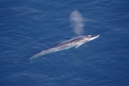 Fin Whale. Photo: <a href=