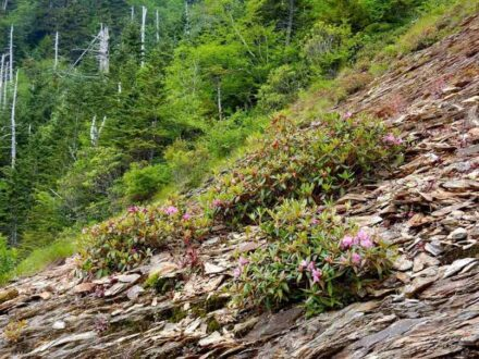 Die beschriebene Art Rhododendron smokianum kommt bisher nur in den Great-Smoky-Mountains vor und bevorzugt dort das schwermetallhaltige Schiefergestein.