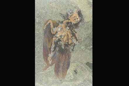 Neuer Fund im Unesco-Weltnaturerbe Grube Messel: ein Fossil einer bislang unbekannten Vogelart. Foto: Kuhlmann