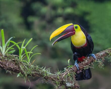 """In the tropics of South America, biodiversity is much higher than in Africa - in the picture: a chestnut-mandibled Toucan. Photo: Andy Morffew / <a href=""""https://commons.wikimedia.org/""""target=""""_blank"""">Wikimedia Commons</a>, <a href="""" https://en.wikipedia.org/wiki/Creative_Commons_license""""target=""""_blank"""">Creative Commons License</a>"""